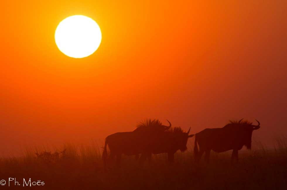 coucher de soleil, gnous en namibie