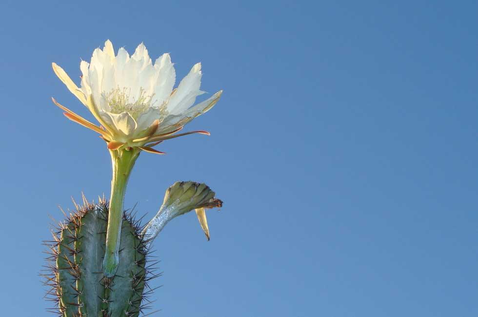 cactus namibie